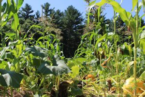 Companion Planting in a field of corn