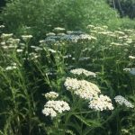 A clump of yarrow
