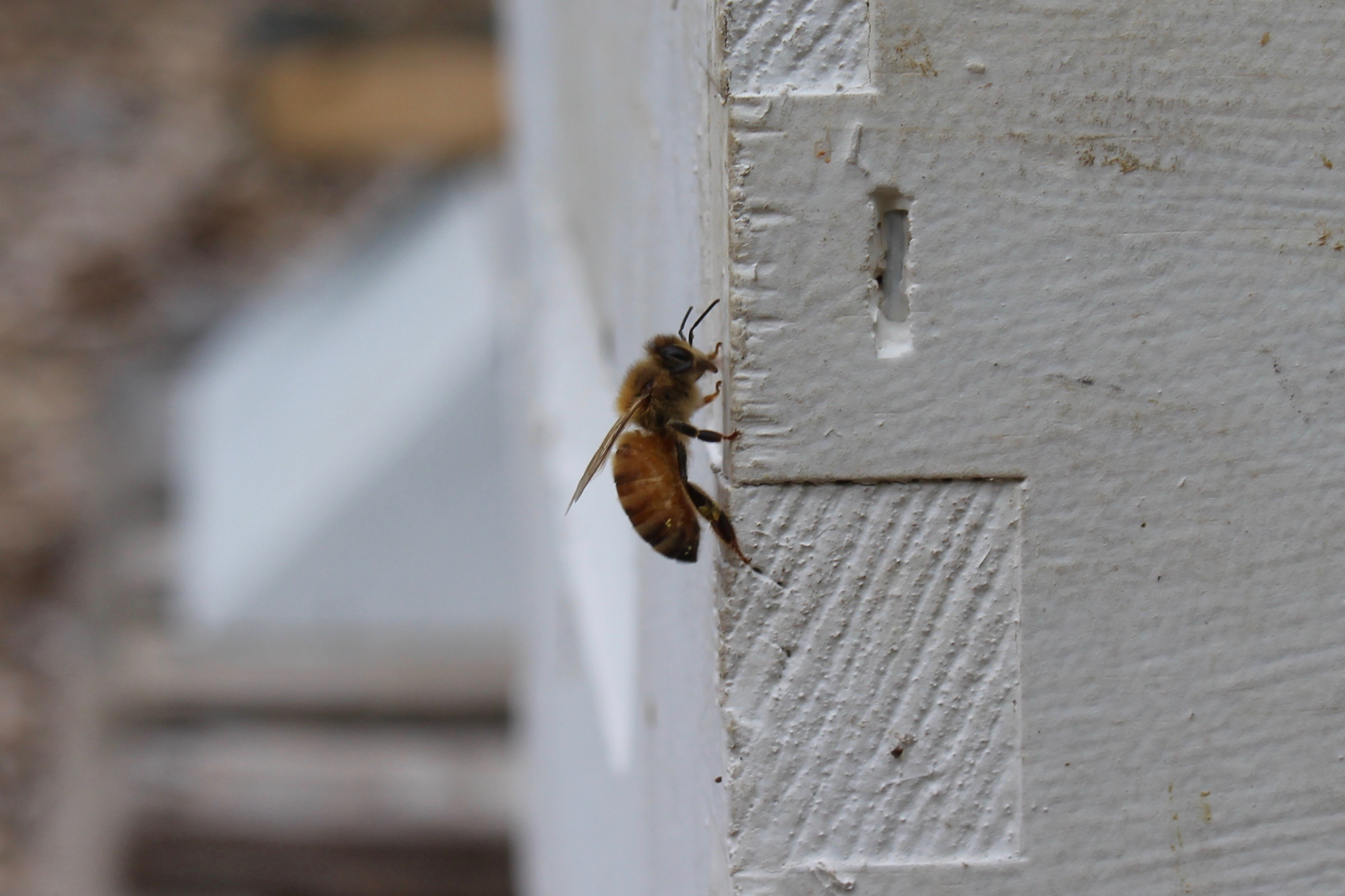 A female honey bee resting on a hive