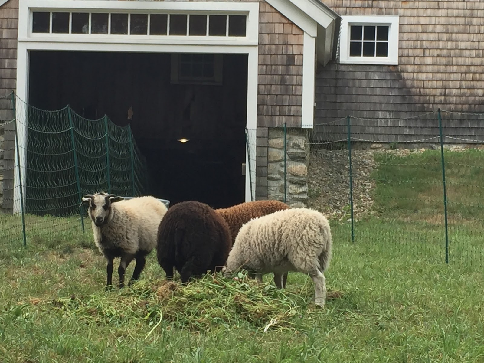 Sheep at ifarm garden