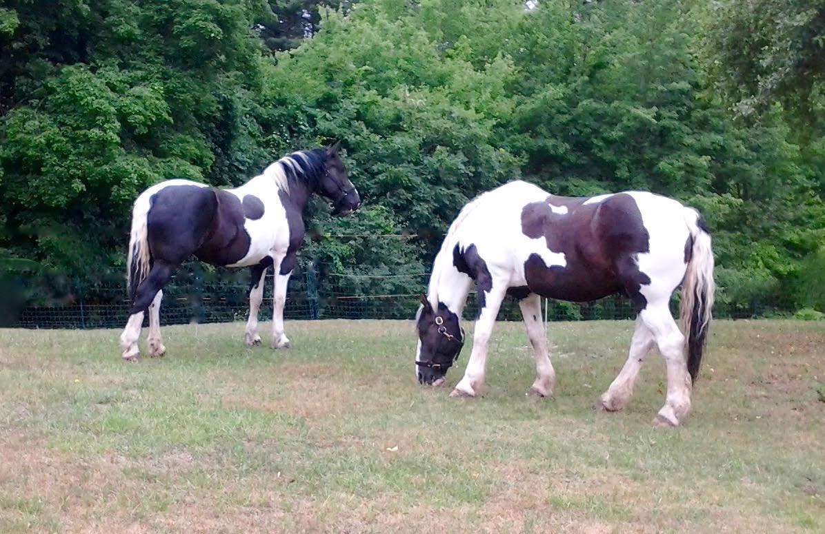 Draft horses grazing