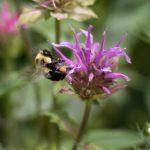 A bumblebee visiting Bee Balm