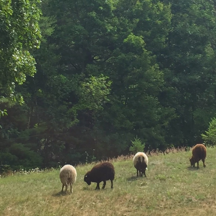 4 Sheep grazing together
