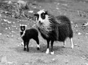 Sheep, Shetland, Permaculture