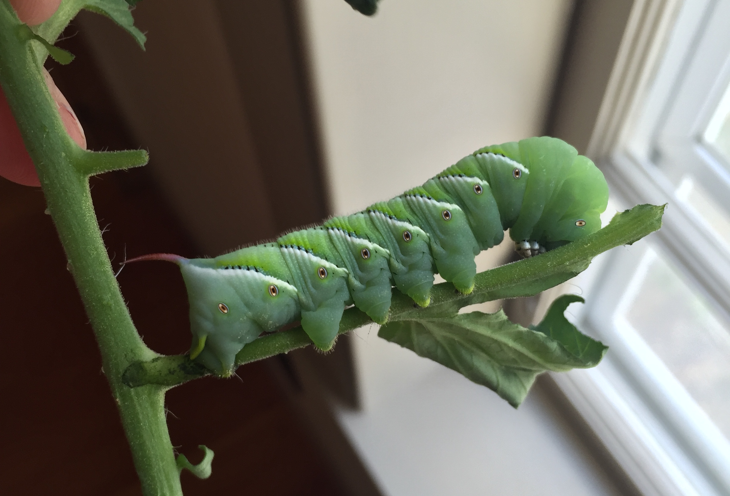 Male Tobacco Hornworm