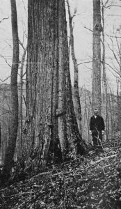 Black and White Image of an old growth American Chestnut Tree