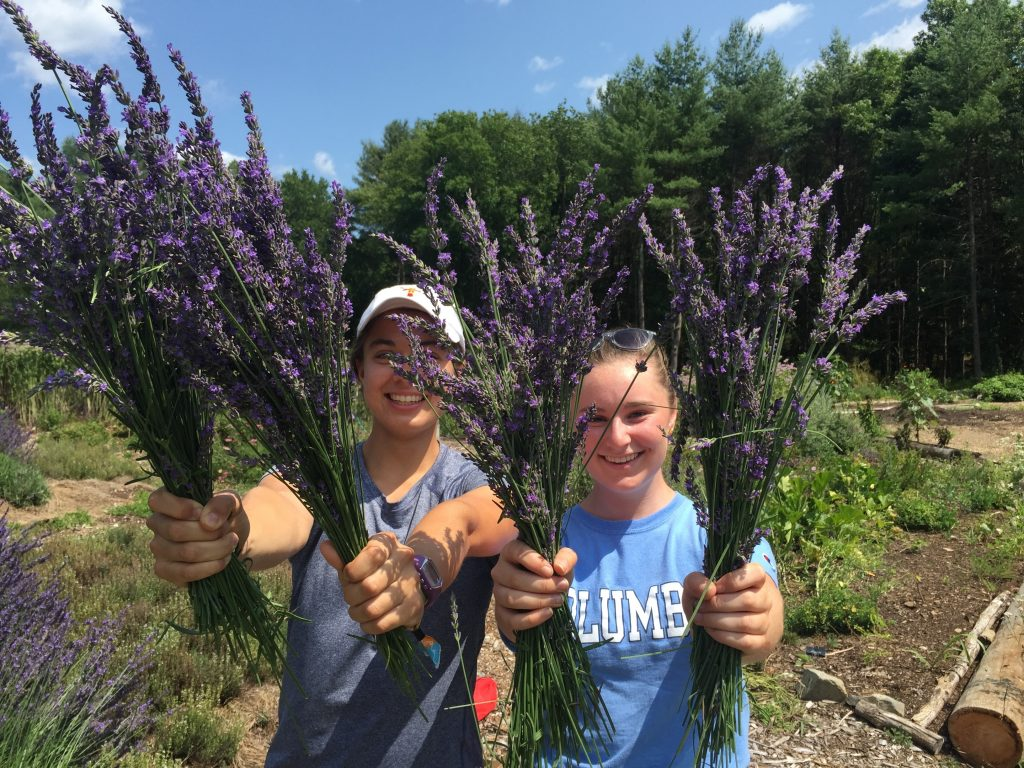 Two ifarm employees holding harvested lavender