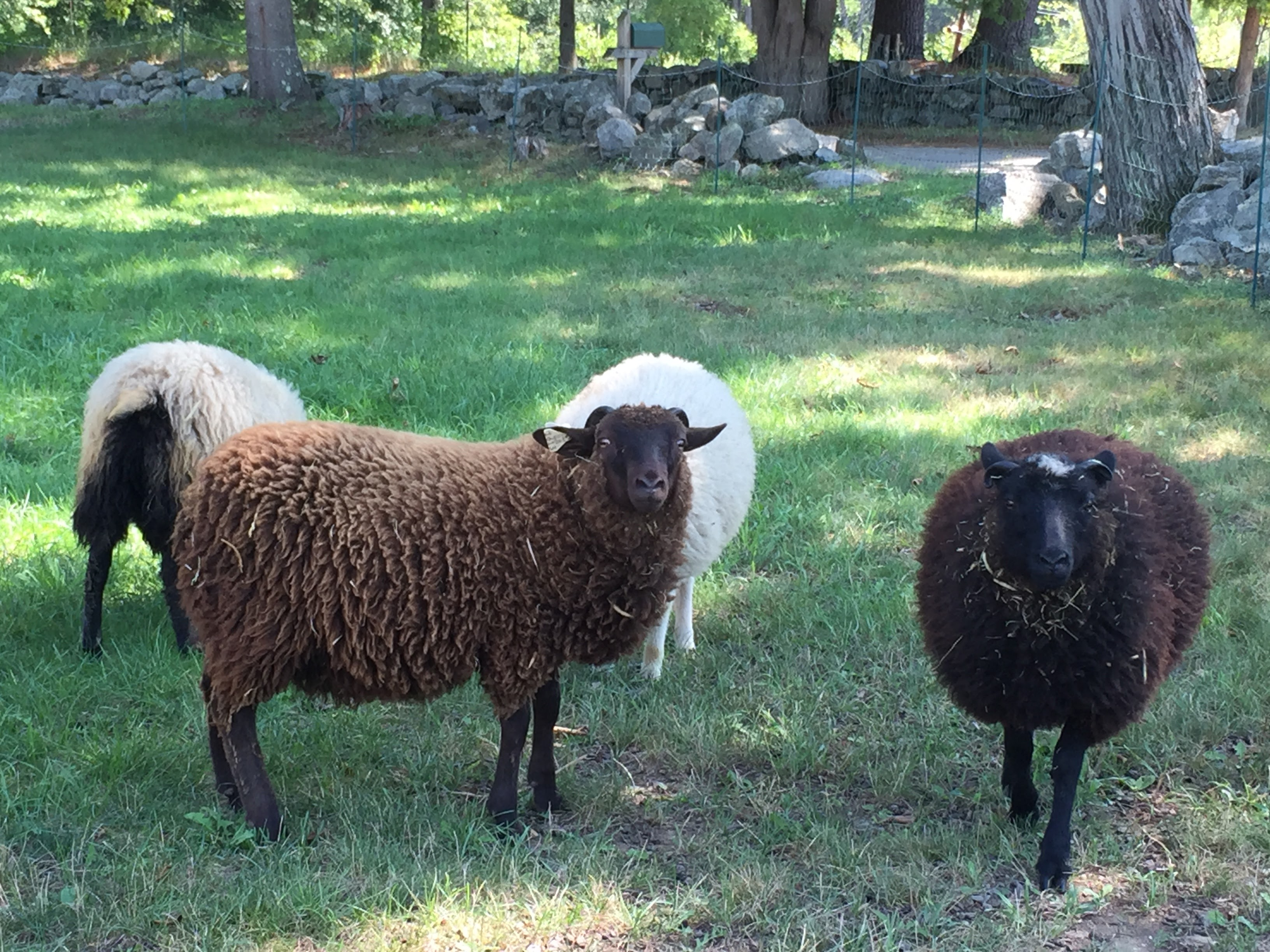 Our four shetland sheep grazing and looking at the camera