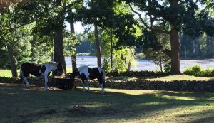 Pitch and Patch, Our two draft horses, grazing by the pond in their pasture.