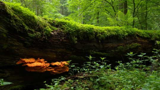 Nature Fun Fact, an image of wild edible mushroom Chicken of the Woods