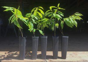 Five American Chestnut Seedlings