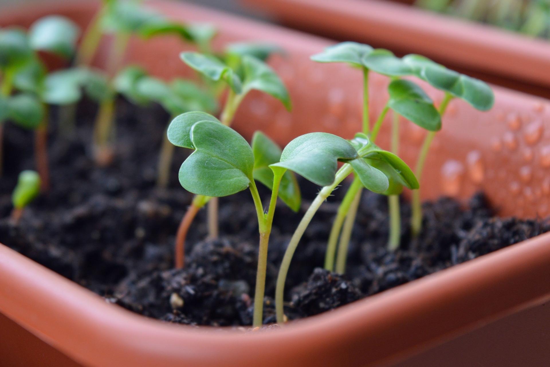 Radish Seedlings