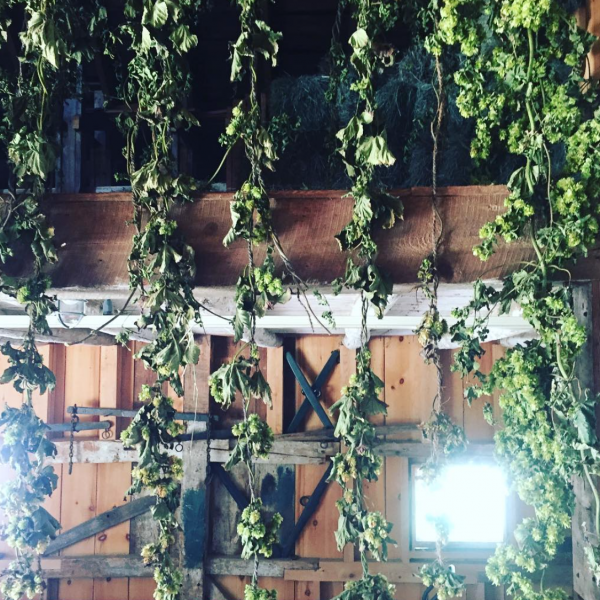 hops hanging