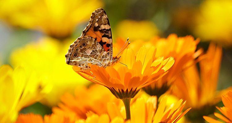 butterfly-196745_960_720