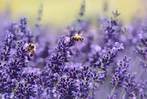 lavender-1537694_960_720