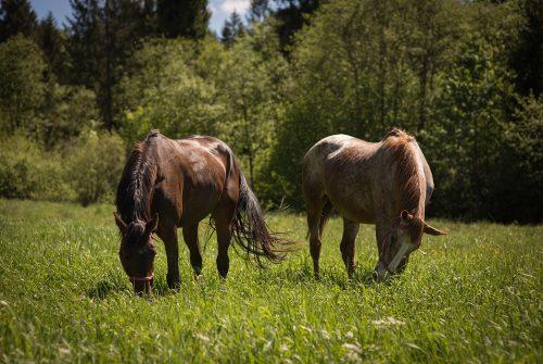 horses-3383232_960_720