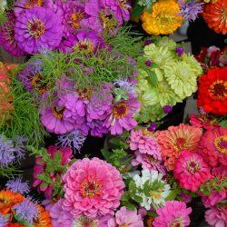 gerber-daisies-1639819_1280